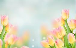 Chiuda su dei tulipani gialli e rosa fotografia stock libera da diritti