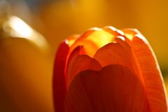 Chiuda in su dei tulipani rossi immagine stock