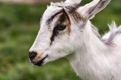 Chiuda su del bambino della capra dell'ibrido Immagini Stock Libere da Diritti
