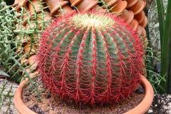 Chiuda in su del cactus Fotografia Stock Libera da Diritti