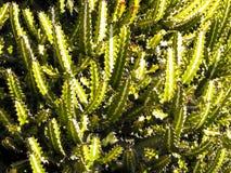Chiuda su del cactus verde come fondo Immagine Stock Libera da Diritti