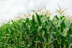 Chiuda su del campo di grano verde organico - l'agricoltura della campagna Fotografie Stock Libere da Diritti