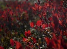 Chiuda su del campo rosso della pianta del mirtillo fotografie stock