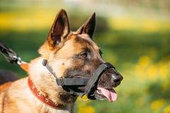 Chiuda su del cane di Malinois con la museruola Pastore belga Dog Portrait immagine stock