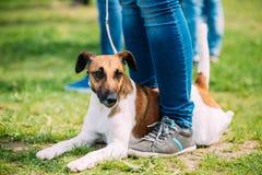 Chiuda su del cane liscio del fox terrier che si siede vicino ai piedi della donna in erba verde Fotografia Stock
