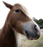 Chiuda in su del cavallino Fotografia Stock