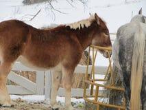 Chiuda su del cavallo Fotografie Stock