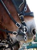 Chiuda su del cavallo da tiro con il pezzo del cablaggio fotografia stock libera da diritti