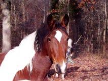 Chiuda su del cavallo del pinto Fotografia Stock Libera da Diritti