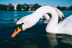 Chiuda su del cigno bianco sveglio della tolleranza sul lago Alster un giorno soleggiato a Amburgo Fotografie Stock