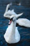 Chiuda su del cigno nel lago Alster vicino municipio Città di Amburgo, Germania Fotografie Stock Libere da Diritti