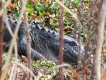 Chiuda in su del coccodrillo Fotografia Stock