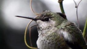 Chiuda su del colibrì che si siede dettagliatamente sul cespuglio stock footage