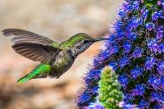 Chiuda su del colibrì femminile del ` s di Anna immagine stock