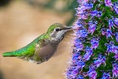 Chiuda su del colibrì femminile del ` s di Anna immagini stock libere da diritti