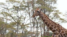 Chiuda su del collo e della testa di una giraffa africana sui precedenti delle acace archivi video