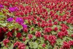 Chiuda su del color scarlatto della pianta prudente fotografia stock libera da diritti