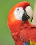 Chiuda in su del color scarlatto magnifico del macaw, Costa Rica Fotografia Stock