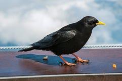 Chiuda su del corvo sul parapetto ad Aiguille du Midi in alpi francesi Immagine Stock Libera da Diritti