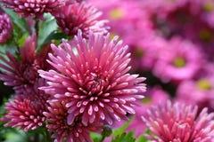 Chiuda su del crisantemo porpora Fotografia Stock Libera da Diritti