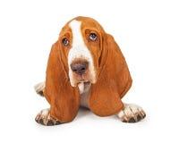 Chiuda su del cucciolo adorabile di Basset Hound fotografia stock