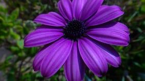 Chiuda su del Dimorphotheca porpora del fiore (tagete) Fotografie Stock