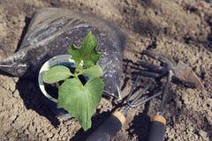 Chiuda su del fertilizzante delle piantine del cetriolo e degli strumenti di giardinaggio Il tempo di primavera… è aumentato fogl Immagini Stock Libere da Diritti