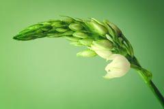 Chiuda su del fiore bianco del germoglio Fotografia Stock