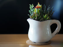 Chiuda su del fiore del cactus nella tazza bianca Immagini Stock Libere da Diritti