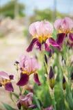 Chiuda su del fiore dell'iride di bellezza Fotografia Stock Libera da Diritti