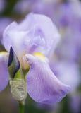Chiuda su del fiore dell'iride di bellezza Immagine Stock