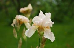 Chiuda su del fiore dell'iride su un fondo verde Fotografia Stock