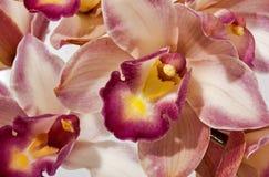Chiuda su del fiore dell'orchidea nelle tonalità del rosa Immagine Stock