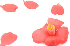 Chiuda in su del fiore della camelia Immagini Stock Libere da Diritti