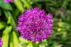 Chiuda su del fiore della cipolla Fotografie Stock