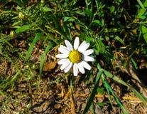Chiuda su del fiore della margherita bianca sul prato Immagini Stock Libere da Diritti