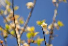Chiuda su del fiore della prugna con il fondo della natura. Immagine Stock