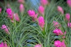 Chiuda su del fiore di bromeliacea Fotografia Stock Libera da Diritti