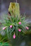 Chiuda su del fiore di bromeliacea Immagini Stock Libere da Diritti