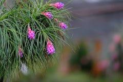 Chiuda su del fiore di bromeliacea Fotografie Stock Libere da Diritti
