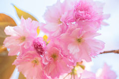 Chiuda su del fiore di ciliegia doppio di fioritura Fotografia Stock