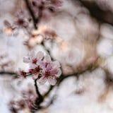 Chiuda su del fiore di ciliegia in primavera Immagini Stock Libere da Diritti
