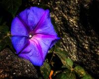 Chiuda su del fiore di ipomea del blu di oceano fotografia stock