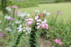Chiuda su del fiore di ragno variopinto o della regina rosa Fotografia Stock Libera da Diritti