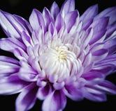 Chiuda su del fiore di Spraymum Immagine Stock Libera da Diritti
