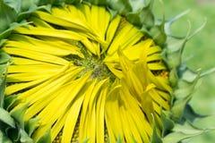 Chiuda su del fiore di Sun Fotografie Stock Libere da Diritti
