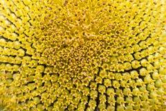 Chiuda su del fiore di Sun Fotografia Stock Libera da Diritti