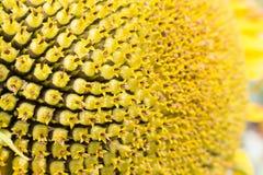 Chiuda su del fiore di Sun Immagine Stock Libera da Diritti