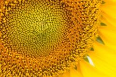 Chiuda su del fiore di Sun Immagini Stock