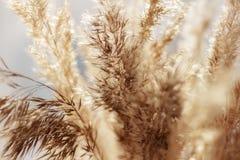 Chiuda su del fiore dorato asciutto dell'erba a lamella, focuse selettivo Immagini Stock